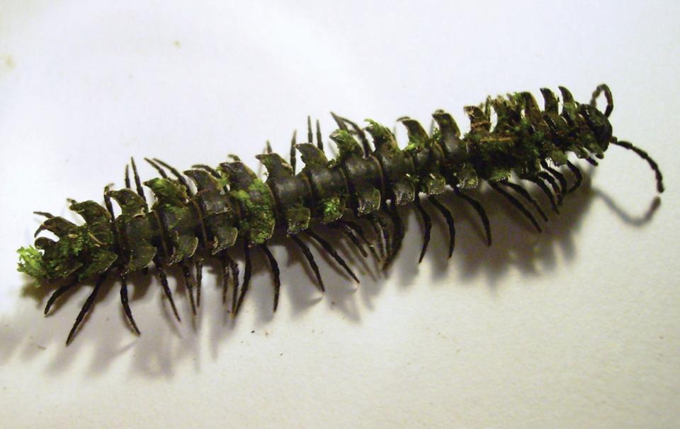 Psarmmodesmus bryophorus - The Moss Carrying Millipede [3]