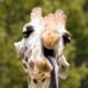 Avatar image for SaucyGiraffe